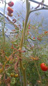 arbre à tomates !