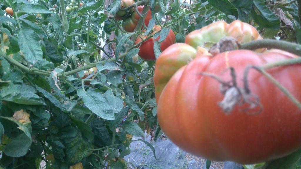 tomate Mendigoria